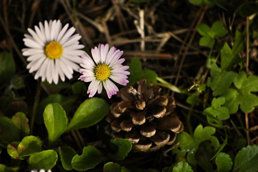daisy and pinecone